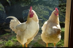 Coq et poule Sussex