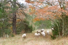 Moutons-3