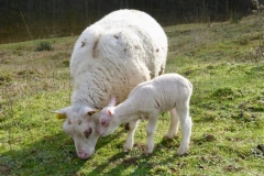 Moutons_2