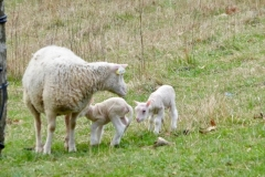 Moutons_4