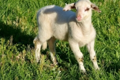 Moutons_8